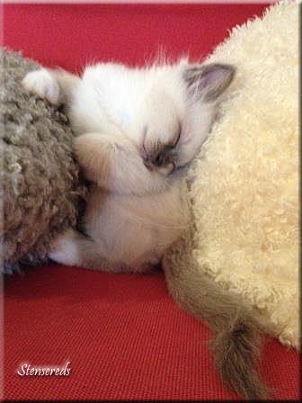 Gamina sover - sittandes - mellan två kuddar